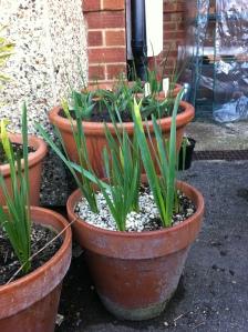 Daffodils (cheerfulness) in bud
