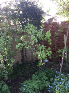 Slow growing quince in lots of bud