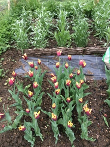 Tulips at the plot