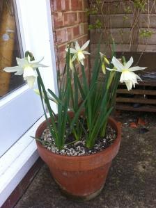 Fast blooming daffodils