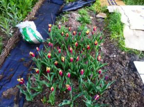 At last the tulips at the plot