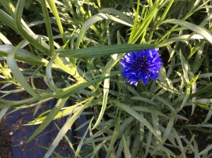 The first cornflower at the plot this year
