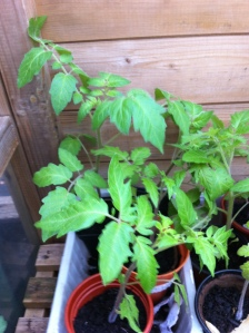 A few of the many healthy tomato plants