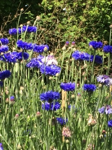 Cornflowers bright and blue some going to seed