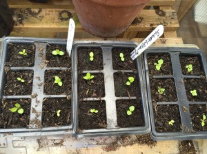 Tiny foxglove and sweet william seedlings