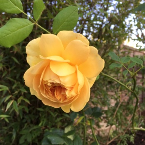 Beautiful rose Graham Thomas late blooming in garden. perhaps one for the plot next year.
