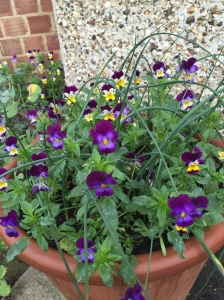 Homesown violas with bright (and edible) flowers