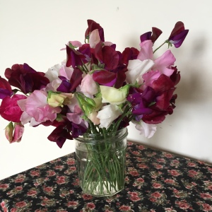 Sweetpeas at end of July - stems getting shorter, but still beautifully scented
