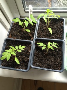 Small tomato plants enjoying warm windowsill